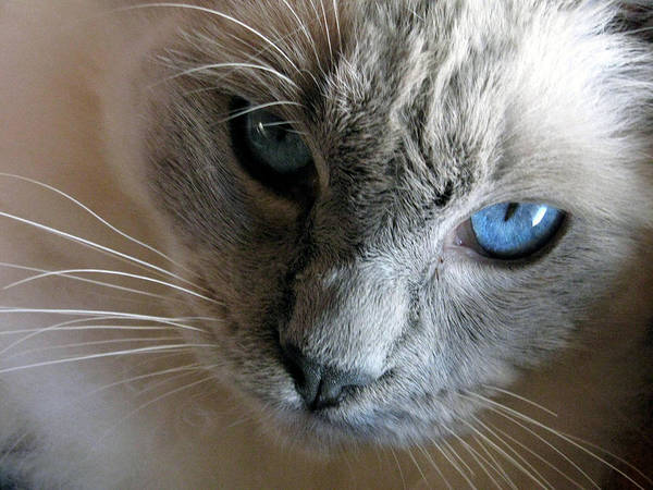 Long Hair Cat Photograph - Those Eyes by Amber Nissen