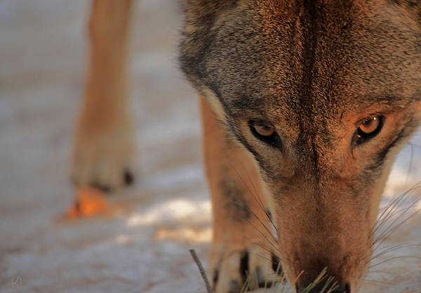 Red Wolf Photograph - Those Eyes by Karol Livote