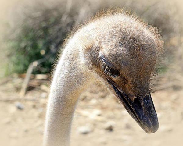 Photograph - Thoughtful Ostrich by AJ  Schibig