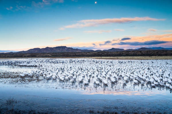 Goose Photograph - Snow Geese And Sandhill Cranes Before The Sunrise Flight - Bosque Del Apache, New Mexico by Ellie Teramoto
