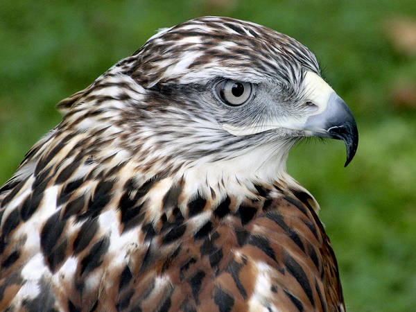 The Threat Of A Predator Hawk Art Print