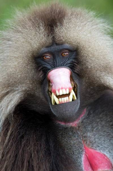 Old World Monkey Photograph - Threat Display Of A Male Gelada Baboon by Tony Camacho