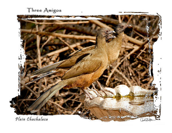 Photograph - Three Amigos by Carol Erikson