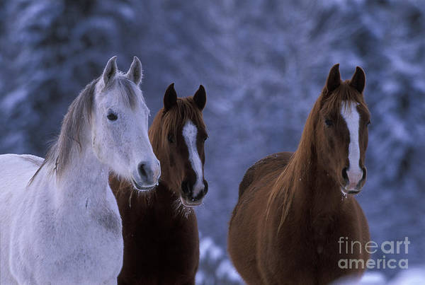 Photograph - Three Arabian Mares by Rolf Kopfle