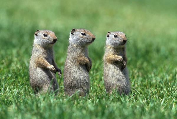 Triplets Photograph - Three Baby Uinta Ground Squirrles by Animal Images