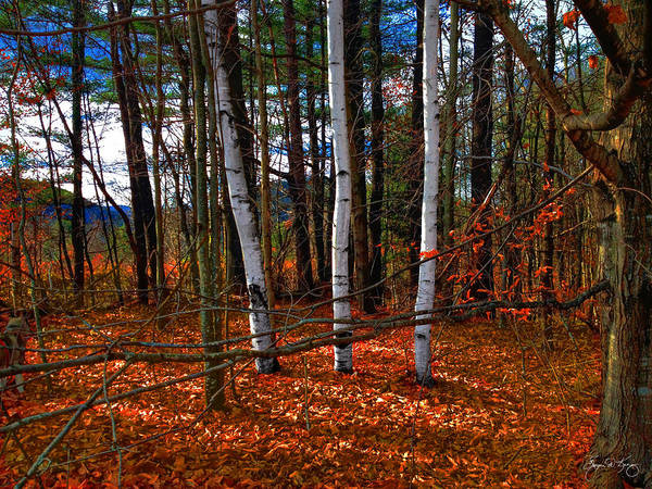 Photograph - Three Birches In Autumn Leaves by Wayne King