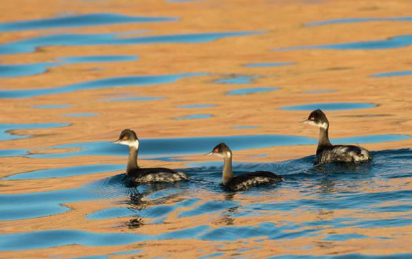Ensenada Photograph - Three Black Neck Grebes Swimming by Michael Melford
