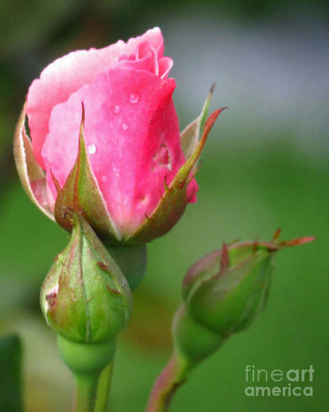Photograph - Three Buds by Donna Cavanaugh