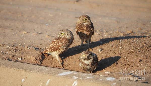 Photograph - Three Burrowing Owls by Donna Greene
