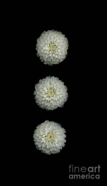 Wall Art - Photograph - Three Button Mums by Nancy TeWinkel Lauren