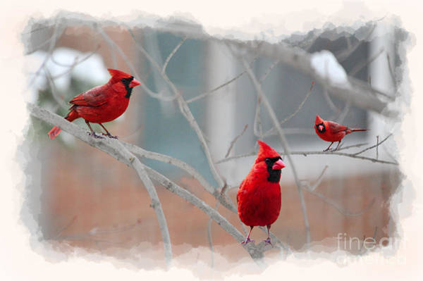Photograph - Three Cardinals In A Tree by Dan Friend