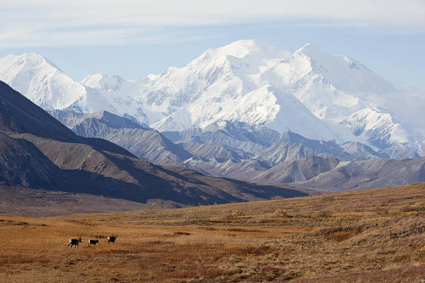 Free Range Photograph - Three Caribou Run Thru The Tundra With by Doug Lindstrand