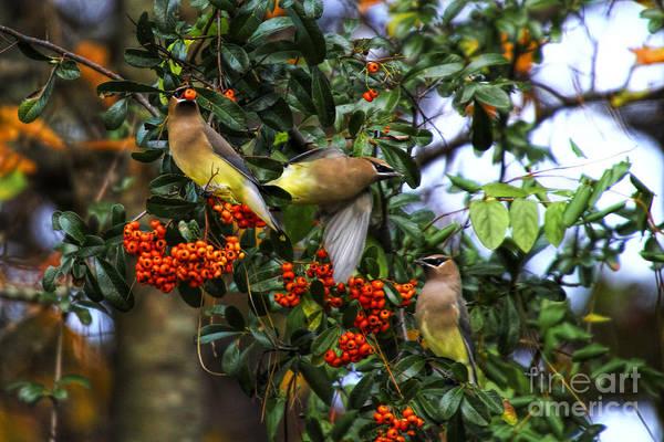 Photograph - Three Cedar Waxwings by Barbara Bowen