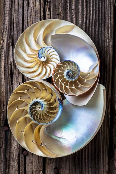 Three Seashells Photograph - Three Chambered Nautilus by Garry Gay