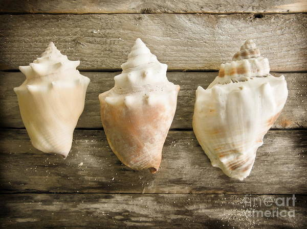 Three Seashells Photograph - Three Conch Shells by Colleen Kammerer
