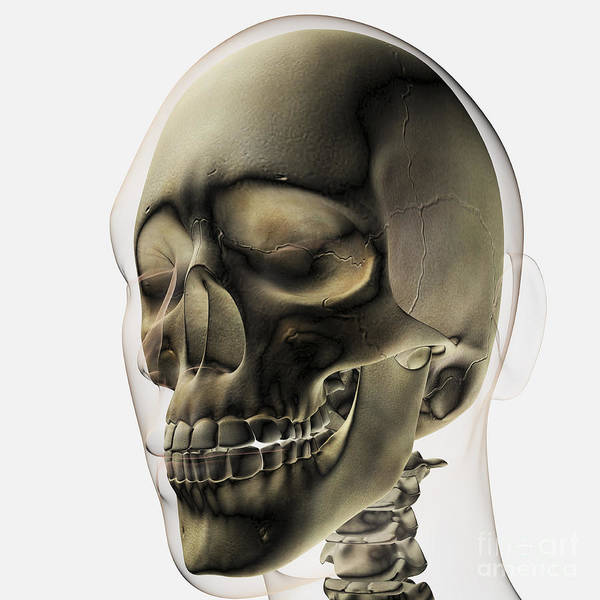 Temporal Bone Wall Art - Digital Art - Three Dimensional View Of Human Skull by Stocktrek Images
