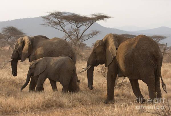 Photograph - Three Elephants by Chris Scroggins