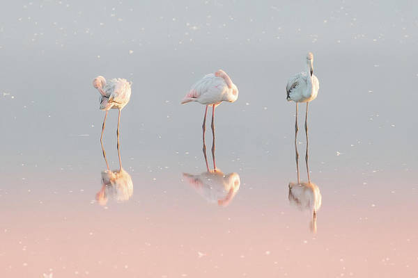 Flamingos Wall Art - Photograph - Three Flamingos ... by Natalia Rublina
