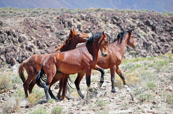 Photograph - Three Free Stallions by Lula Adams
