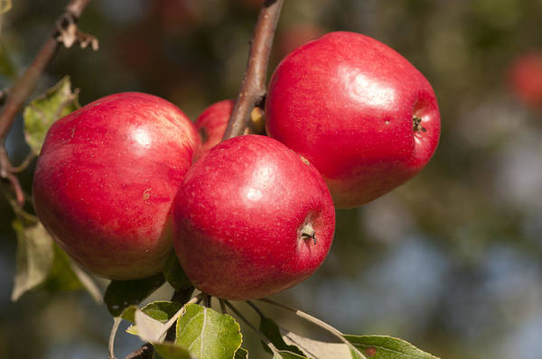 Photograph - Three Fresh Red Apples On A Apple Tree by Matthias Hauser