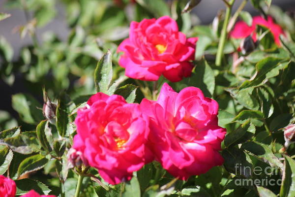 Photograph - Three Fuschia Roses by Donna L Munro