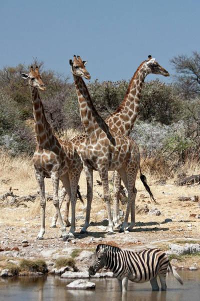 Theme Park Photograph - Three Giraffe (giraffa Camelopardalis by Jaynes Gallery