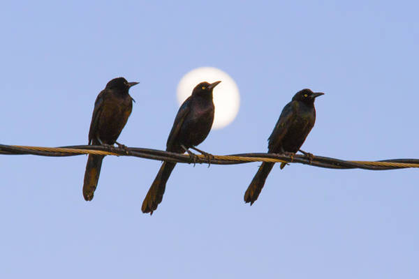 Photograph - Three Grackles With Full Moon by Steven Schwartzman
