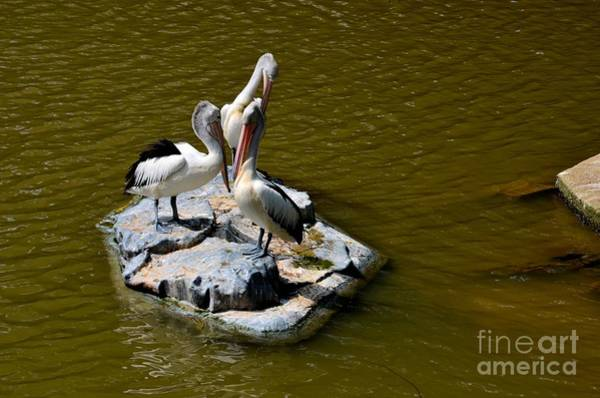 Photograph - Three Great White Pelicans Standing On Rock by Imran Ahmed