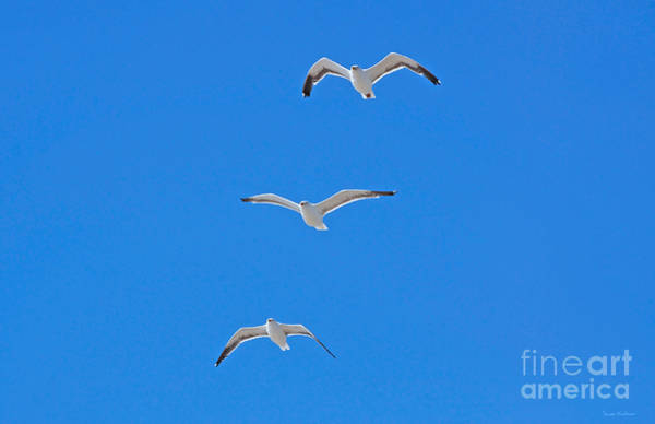 Photograph - Three Gulls Soaring by Susan Wiedmann
