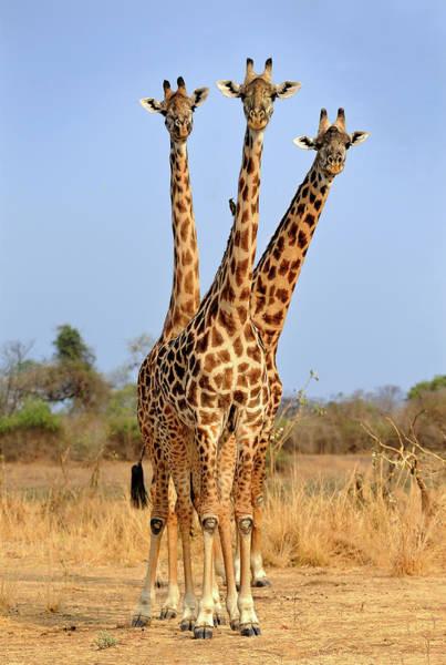 South Wall Art - Photograph - Three Headed Giraffe by Xavier Ortega