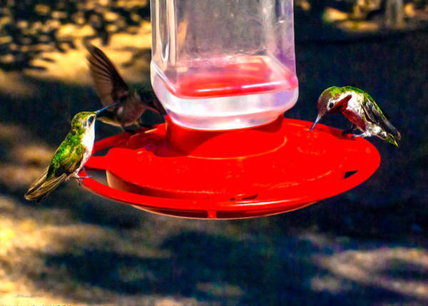 Photograph - Three Humming Birds In Arizona by Bob and Nadine Johnston
