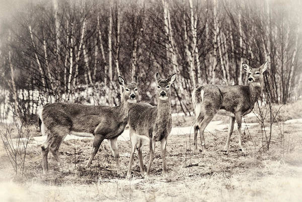 Winter Deer Photograph - Three In The Field by Susan Capuano