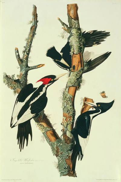 Aquatint Photograph - Three Ivory-billed Woodpeckers by Natural History Museum, London/science Photo Library