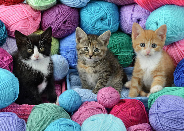Wall Art - Painting - Three Kittens With Wool by MGL Meiklejohn Graphics Licensing
