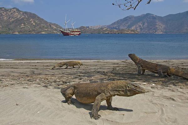 Dragon Boats Wall Art - Photograph - Three Komodo Dragons On Beach by Jaynes Gallery
