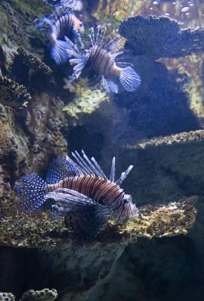 Digital Art - Three Lion Fish Swimming by Chris Flees