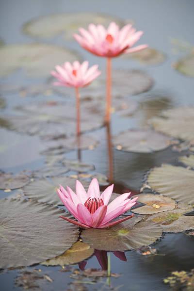 Three Lotus Flowers Art Print