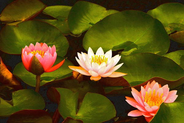 Photograph - Three Lovely Gracious Waterlilies by Byron Varvarigos
