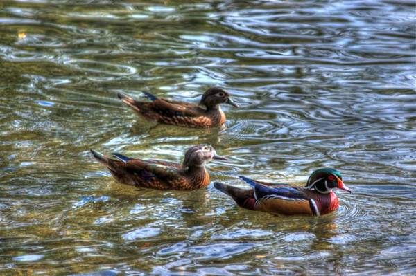 Three Mallard Ducks Art Print