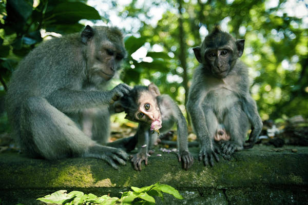 Monkey Flower Wall Art - Photograph - Three Monkeys Sitting On A Stone Wall by Jen Judge