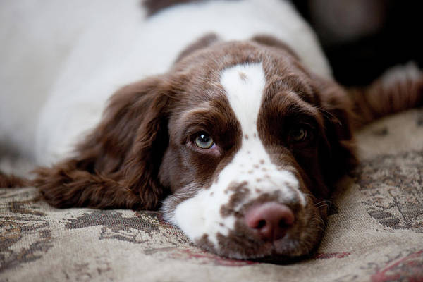 Springer Spaniel Photograph - Three Month Old English Springer Spaniel by Kathy Collins