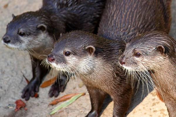Photograph - Three Otters by Daniel Eskridge