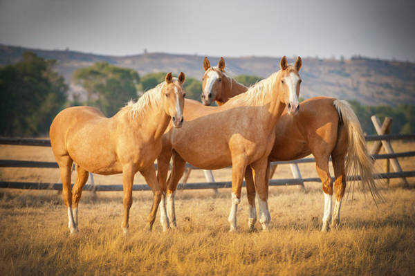 Palomino Photograph - Three Palomino Ponies Looking At The by Stephen Simpson