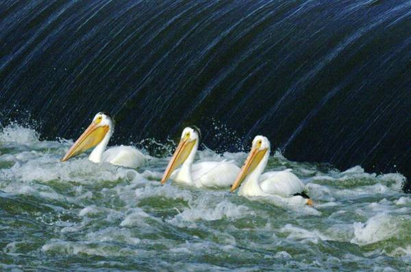 Spillway Photograph - Three Pelicans Hanging Out  by Jeff Swan