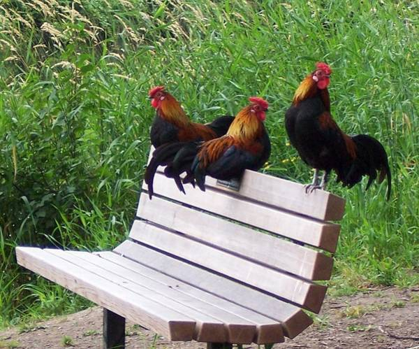 Wall Art - Photograph - Three Roosters On A Park Bench by Peter Mooyman