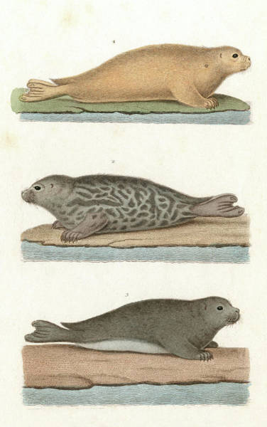 Wall Art - Drawing - Three Seals   1 by Mary Evans Picture Library