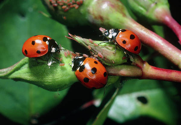 Biological Pest Control Photograph - Three Seven-spotted Ladybirds by Dr Jeremy Burgess/science Photo Library
