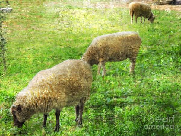 Smallholding Photograph - Three Sheep by Marcia Lee Jones