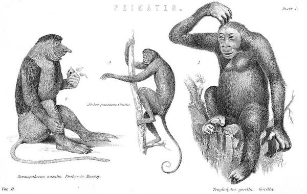 Wall Art - Drawing - Three Species Of Primate Proboscis by Mary Evans Picture Library