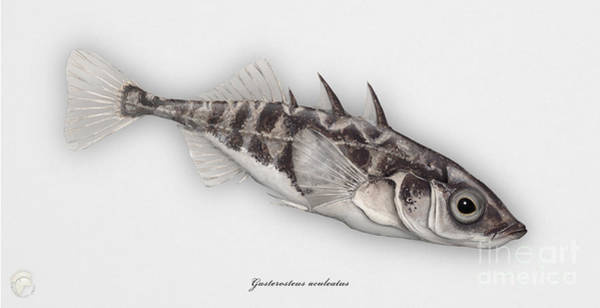 Painting - Three-spined Stickleback Gasterosteus Aculeatus - Stichling - L'epinoche - Espinoso - Kolmipiikki by Urft Valley Art